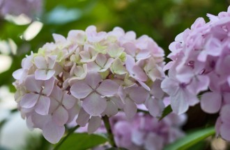 Laura-Ashley-Hydrangeas-Flowerona-Hero2