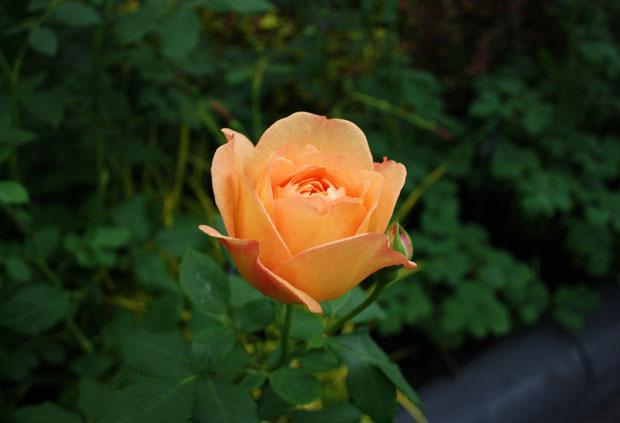 rose 2 at chelsea
