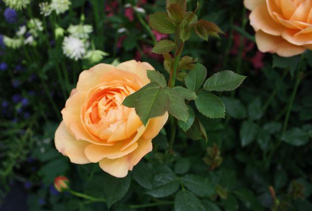 rose at chelsea