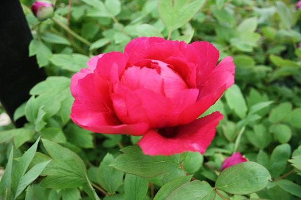 rose chelsea