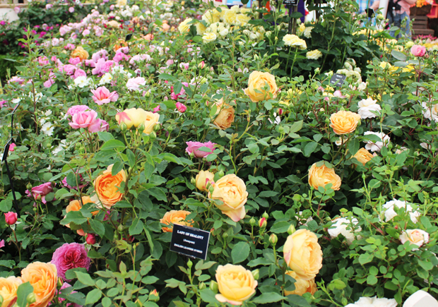 blog_roses4