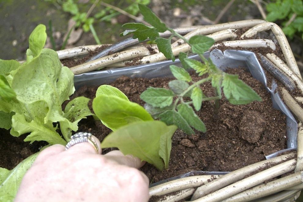 Kubu Planter 2